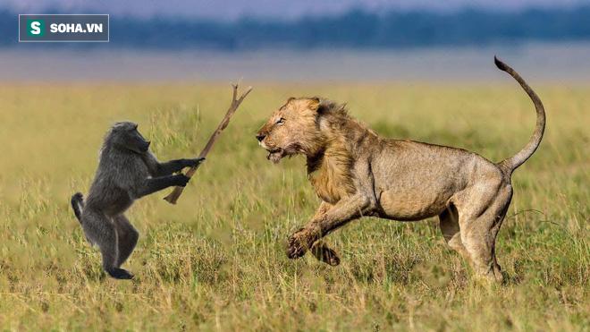 Khỉ đầu chó bị sư tử chơi trò mèo vờn chuột, liệu nó có thể chạy thoát? - Ảnh 1.