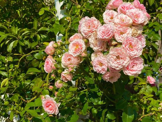 Bà xã Quyền Linh khoe thành quả thu hoạch hoa trái sai trĩu trong căn biệt thự 21 tỷ, được cả chồng lẫn 2 cô con gái xinh đẹp phụ giúp - ảnh 6