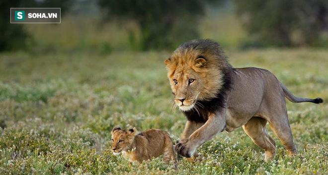 Hai đàn giao tranh, sư tử con bị chính đồng loại tấn công và giết hại - Ảnh 1.