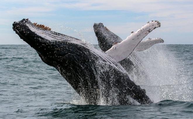 Hoạt động di cư bí ẩn của cá voi - Ảnh 1.