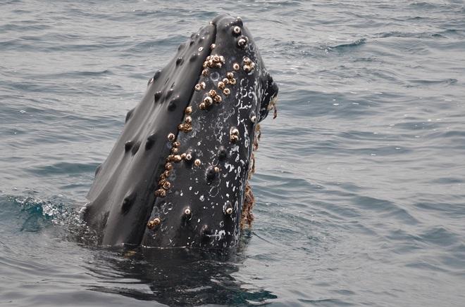 Hoạt động di cư bí ẩn của cá voi - Ảnh 2.
