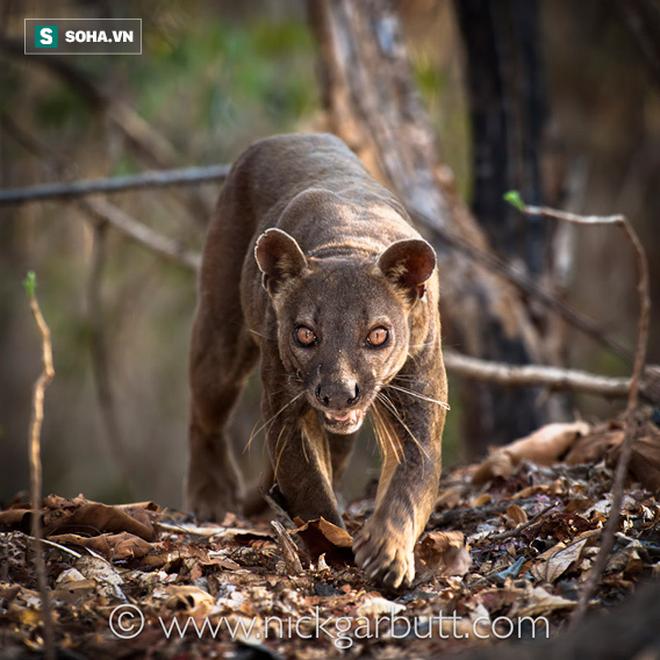 Giống báo đen, đuôi dài như khỉ, đây chính là những vị vua của đảo Madagascar - Ảnh 1.