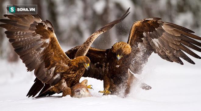Giành nhau xác cáo, hai đại bàng vàng có màn kịch chiến nảy lửa trên tuyết trắng - Ảnh 1.