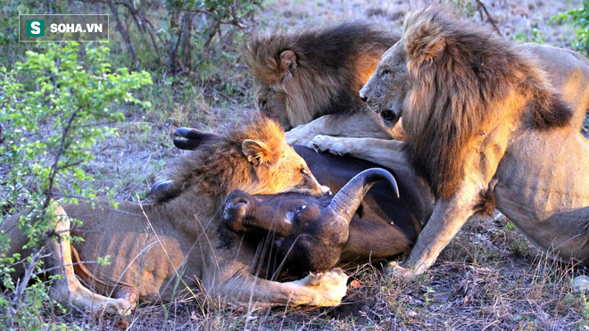 3 sư tử đực vật được trâu rừng ra đất thì bị nhiều bóng đen bao vây đe dọa - Ảnh 1.