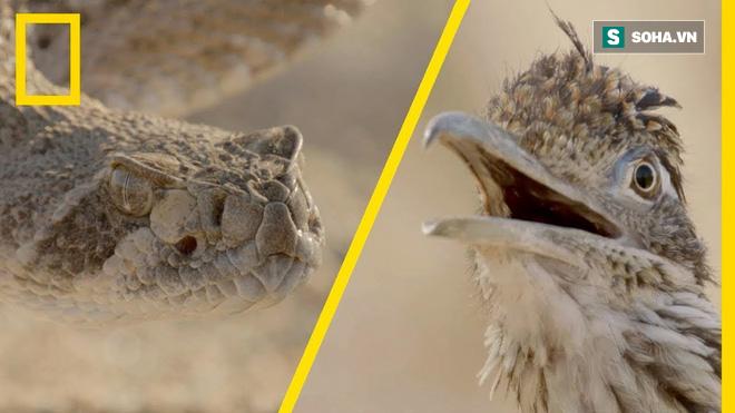 Định ăn thịt rắn đuôi chuông, chim chẹo đất dính đòn hiểm: Cục diện sau đó thế nào? - Ảnh 1.