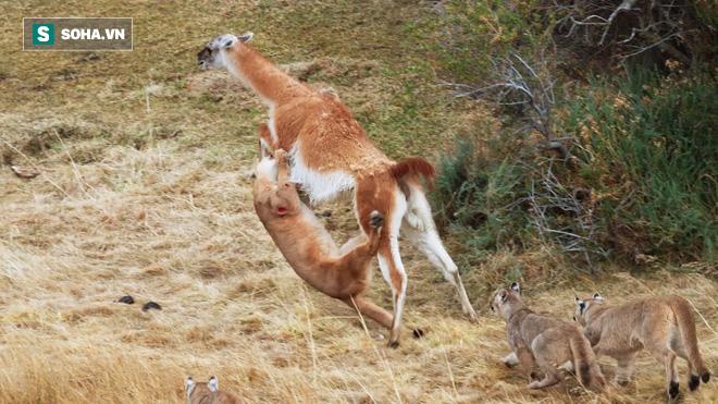 Mẹ con báo sư tử hợp sức hạ lạc đà to lớn gấp 3 lần và kết thúc ê chề - Ảnh 1.