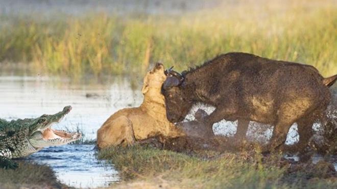 Trâu rừng tấn công sư tử, cá sấu dưới nước thừa nước đục thả câu. Ảnh minh họa: Pinterest