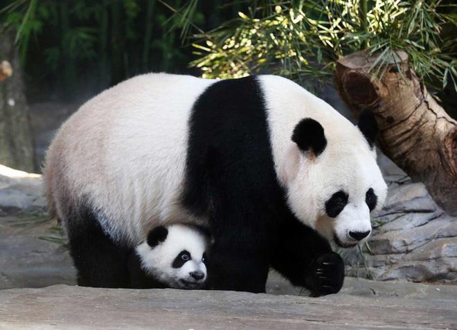 1001 thắc mắc: Vì sao gấu trúc khổng lồ nhưng sinh con lại bé xíu? - Ảnh 1.