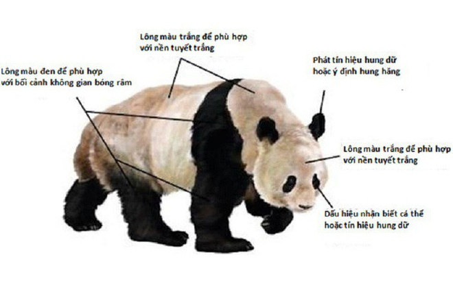 1001 thắc mắc: Vì sao gấu trúc khổng lồ nhưng sinh con lại bé xíu?
