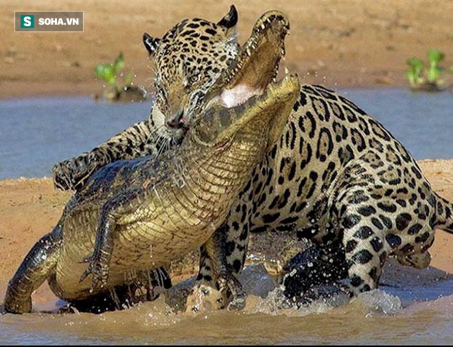 Linh dương cuống cuồng bỏ chạy vì tưởng bị báo đuổi, ngờ đâu kẻ chết là... 1 con cá sấu - Ảnh 1.