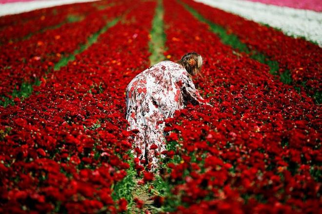 24h qua ảnh: Cô gái hái hoa mao lương đỏ trên cánh đồng ở Israel - Ảnh 6.