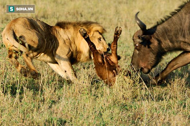 Vừa vồ được nghé con, sư tử bỏ mạng vì dính đòn tới tấp từ bóng đen phía sau - Ảnh 1.