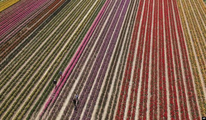 24h qua ảnh: Cánh đồng hoa tulip rực rỡ sắc màu ở Đức - Ảnh 3.