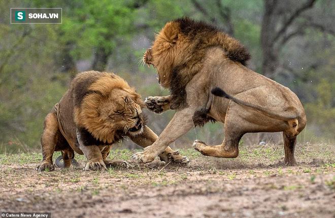 Lao ra định cướp thức ăn, sư tử trẻ bị tiền bối dạy dỗ tới bến - Ảnh 1.