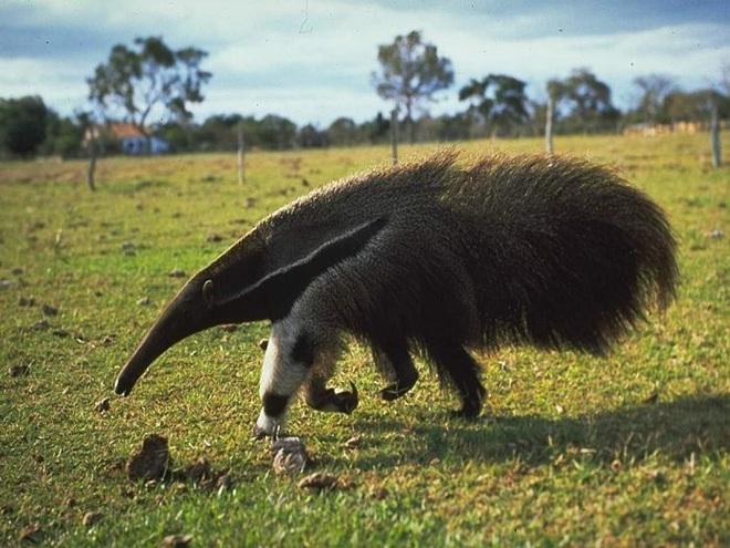 Giải mã bí ẩn vũ khí đặc biệt của thú ăn kiến khổng lồ khiến báo đốm khiếp sợ - Ảnh 1.