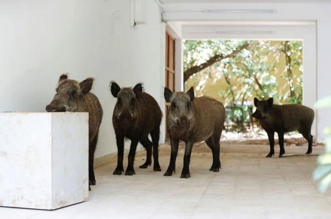 7 ngày qua ảnh: Bầy lợn rừng đột nhập vào khu dân cư - Ảnh 6.