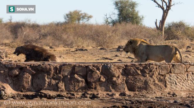 Đi nhầm vào địa phận săn mồi của sư tử, linh cẩu nâu nhận kết cục bi thảm - Ảnh 1.