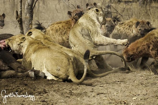 Linh cẩu lao vào như những con thiêu thân để cướp ngựa, sư tử bất lực - Ảnh 1.