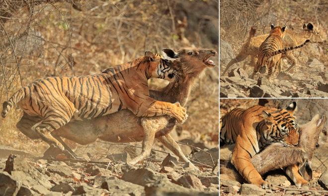 Hươu Sambar bị mãnh hổ chồm lên người: Kỳ tích có xảy ra khi con mồi kéo lê lết kẻ đi săn? - Ảnh 1.
