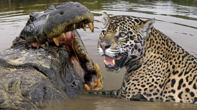 Báo đang định ăn thì cá sấu đầm lầy và lợn bướu tới cùng lúc, kết cục sẽ ra sao? - Ảnh 1.