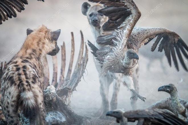 Lì lợm như linh cẩu cũng bị cả bầy kền kền đánh đuổi để cướp thức ăn - Ảnh 1.