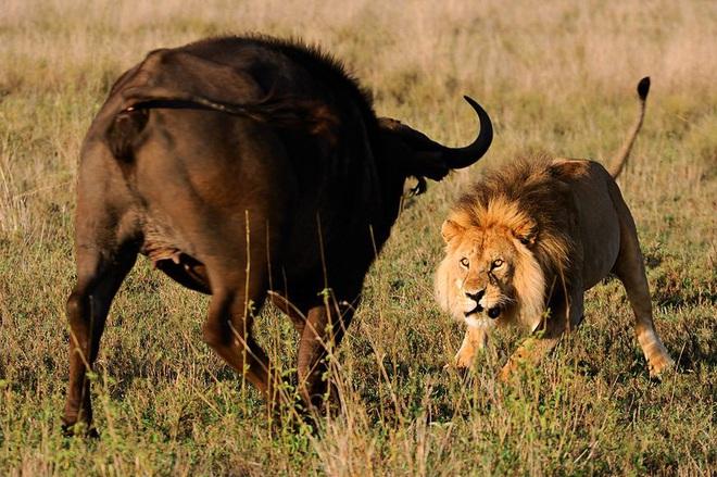 Bị 2 sư tử đực tấn công, trâu có hành động bất ngờ khiến kẻ thù bỏ chạy - Ảnh 1.