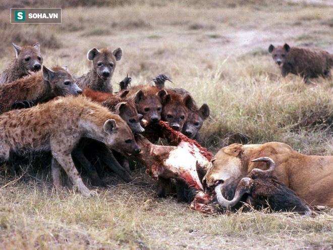 Cả bầy linh cầu đang bắt nạt sư tử đơn độc thì bỏ chạy vì kẻ thứ 3 - Ảnh 1.