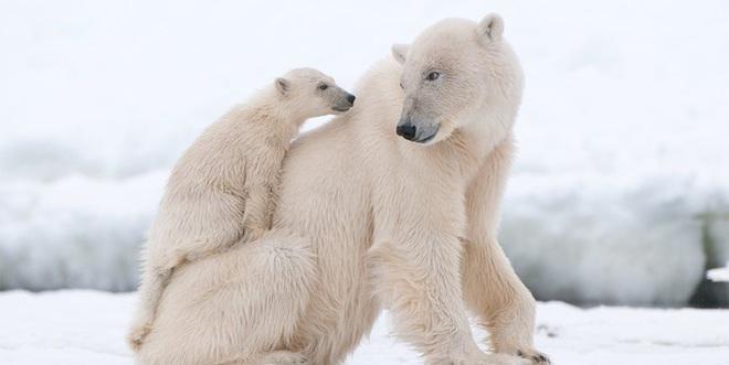 1001 thắc mắc: Có bí mật gì đằng sau bộ lông của gấu Bắc Cực? - Ảnh 1.