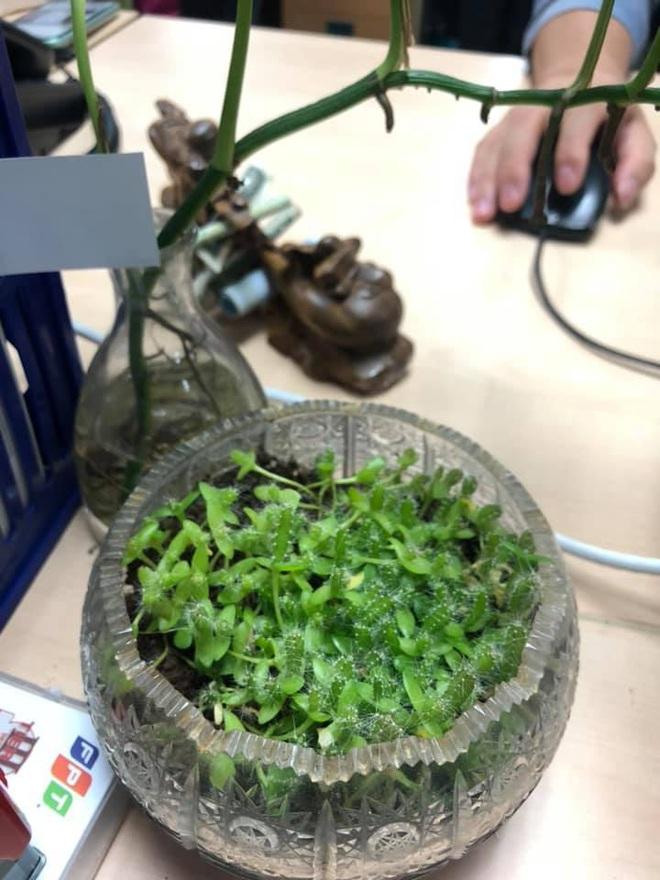 Trào lưu trồng thanh long làm cảnh khiến dân mạng thích thú: Cách trồng vô cùng đặc biệt! - Ảnh 6.
