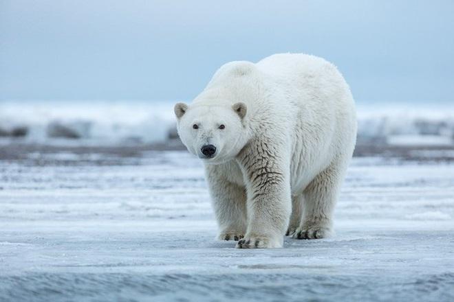 1001 thắc mắc: Bí mật gì sau bộ lông của gấu Bắc Cực? - Ảnh 3.