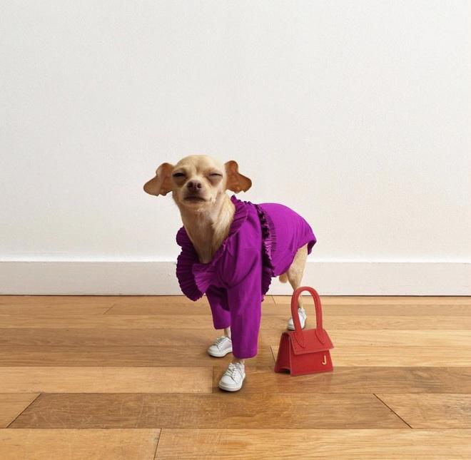 Gặp gỡ chú chó Chihuahua sành điệu nhất thế giới:  Diện đồ hiệu như fashionista thực thụ và có gần 100.000 người hâm mộ trên mạng xã hội - Ảnh 15.
