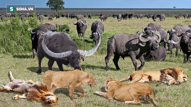 10 sư tử kịch chiến trâu rừng, cá sấu sông Nile và voi xuất hiện bên bàn tiệc: Cục diện ra sao? - Ảnh 1.
