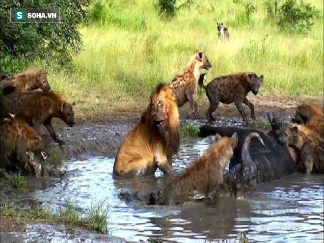 Ngứa mắt vì sư tử hết thời đòi ngồi ăn chung, linh cẩu giở trò đánh hội đồng - Ảnh 1.