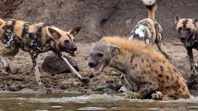 Linh cẩu khốn khổ vì bị chó hoang tấn công tới tấp - Ảnh 1.