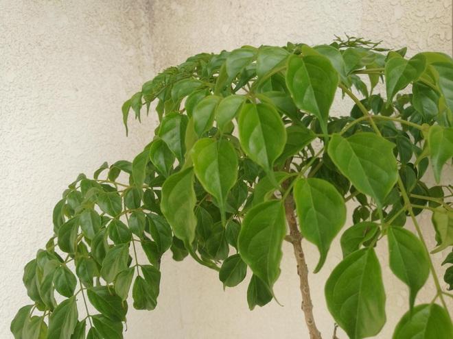 4 giống cây sức khỏe trồng trong nhà, văn phòng: Đẹp nhà, dưỡng sinh, bình an, hạnh phúc - Ảnh 5.