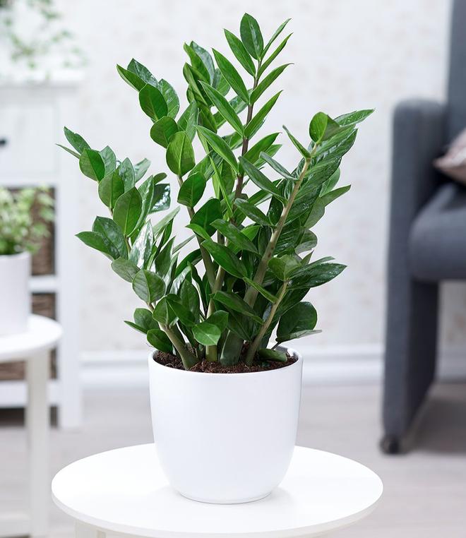 4 giống cây sức khỏe trồng trong nhà, văn phòng: Đẹp nhà, dưỡng sinh, bình an, hạnh phúc - Ảnh 3.