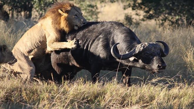 Ít khi đi săn nhưng sư tử đực đã trình diễn một màn săn mồi đỉnh cao - Ảnh 1.