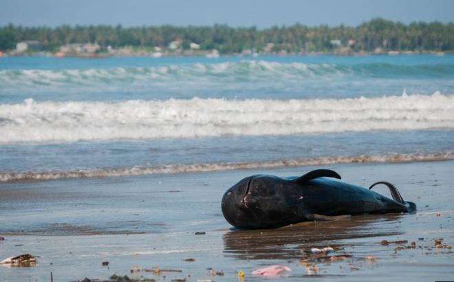 24h qua ảnh: Xác cá voi chết dạt vào bãi biển ở Indonesia