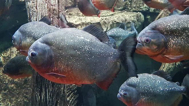 Piranha: Loài cá chỉ vì có lực cắn mạnh gấp 3 lần cá sấu mà mang nhiều tiếng xấu - Ảnh 1.