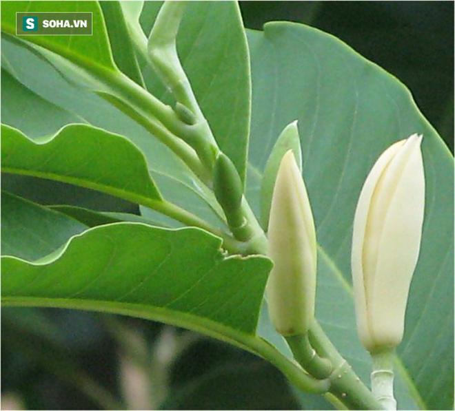 Trồng một cây hoa ngọc lan: Thơm - ngon - đẹp - Thật xứng danh là một kho báu trong vườn - Ảnh 2.