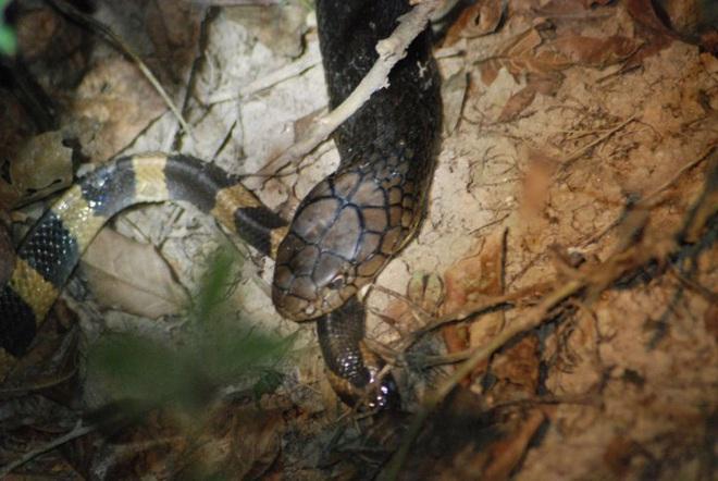 Có nọc độc gấp 15 lần hổ mang chúa, cạp nong vẫn bị giết và ăn thịt như thường - Ảnh 1.