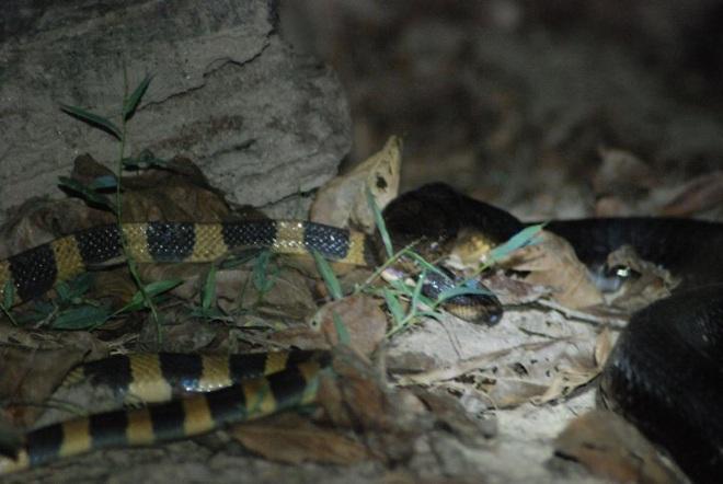 Có nọc độc gấp 15 lần hổ mang chúa, cạp nong vẫn bị giết và ăn thịt như thường - Ảnh 7.
