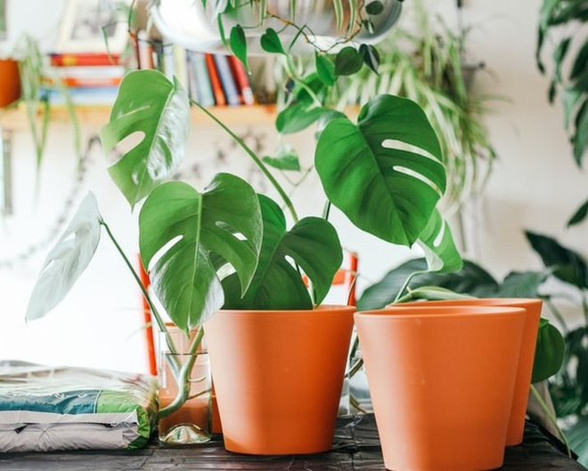 Gợi ý 15 loại cây cảnh bạn nên trồng để vừa làm đẹp nhà vừa tốt cho sức khỏe - Ảnh 16.