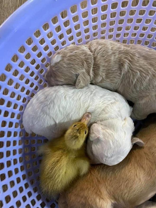 Nhận lầm chó là mẹ mình, vịt con đã cố gắng thân thiết khiến ai nấy đều trầm trồ vì quá đáng yêu - Ảnh 4.