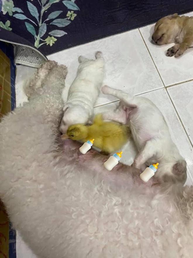 Nhận lầm chó là mẹ mình, vịt con đã cố gắng thân thiết khiến ai nấy đều trầm trồ vì quá đáng yêu - Ảnh 1.