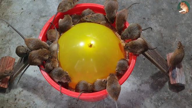 Cả lũ chuột sập bẫy cùng lúc vì một quả bóng bay, mồi và xô nhựa - Ảnh 3.