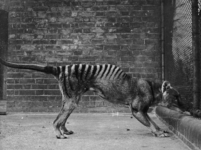 Siêu khuyển lai hổ: Sinh vật quý hiếm, bí ẩn tái xuất sau 84 năm được cho là tuyệt chủng? - Ảnh 1.