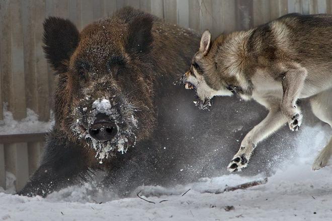 Bầy sói luân phiên nhau tấn công lợn rừng hung dữ: Kết cục, con mồi hay kẻ đi săn phải chết? - Ảnh 1.