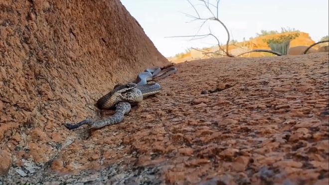 Rắn vua buồn ngủ gặp chiếu manh: Pha tấn công chớp nhoáng giết chết rắn đuôi chuông cực độc - Ảnh 1.