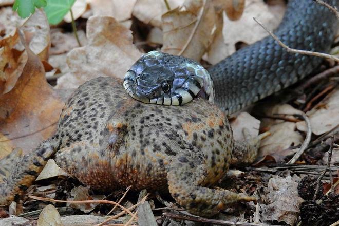 Chiến đấu kiên cường tới hơi thở cuối cùng, cóc khiến cho rắn sọc khốn khổ - Ảnh 1.